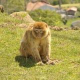 Barbarije macaque & x28; Macaca sylvanus& x29; Stock Foto's