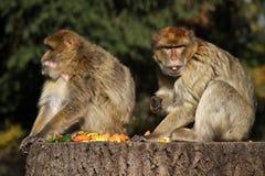 Barbarije Macaques stock fotografie