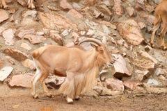 Barbarije sheeps in dierentuin stock foto's