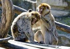 Barbarisches Affenpflegen Stockbilder