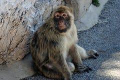 Barbary-Affe Lizenzfreies Stockbild