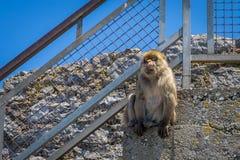 Barbary-Affe auf Treppe Stockbilder