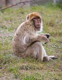 Barbary-Affe, der auf Gras sitzt Stockbild