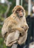Barbary-Affe, der auf Zaun sitzt Lizenzfreie Stockfotografie