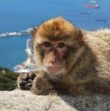 Barbary-Affe, Gibraltar. Lizenzfreies Stockbild