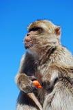 Barbary-Affe, Gibraltar. Stockbilder