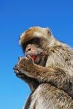 Barbary-Affe, Gibraltar Lizenzfreie Stockfotos