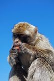 Barbary-Affe, Gibraltar Lizenzfreie Stockfotografie