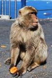 Barbary-Affe, Gibraltar Lizenzfreies Stockfoto