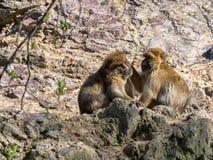 Barbary-Affe, Macaca sylvanus, Sorgfalt für einander ` s Haar Stockbilder