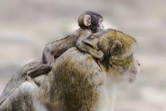 Barbary-Affe mit Schätzchen Lizenzfreies Stockbild