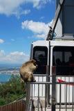 Barbary-Affe und Drahtseilbahn, Gibraltar Lizenzfreies Stockbild