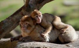 Barbary-Affe und Schätzchen Lizenzfreie Stockfotos