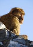 Barbary-Affe von Gibraltar Stockfotos