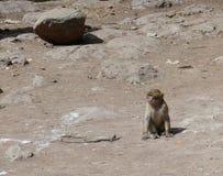 Barbary-Affe von Morroco Lizenzfreies Stockbild