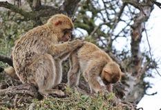 Barbary-Affen, die auf dem Felsen von Gibraltar sich pflegen Lizenzfreie Stockfotografie