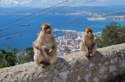 Barbary-Affen, die auf einer Wand, Gibraltar sitzen Lizenzfreie Stockfotos