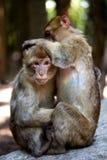 Barbary-Affen, die sich pflegen Stockfoto