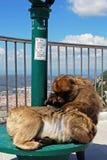 Barbary-Affen, Gibraltar Stockfotografie