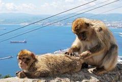 Barbary-Affen, Gibraltar Lizenzfreie Stockfotografie