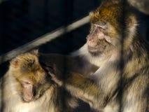 Barbary apa som söker efter löss Arkivbilder