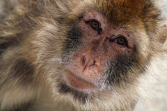 Barbary Ape. Closeup of a Barbary Ape staring at the camera Royalty Free Stock Images
