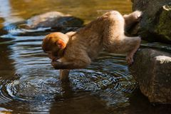 Barbary ape. Baby barbary ape playing with water Stock Photo