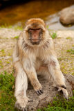 Barbary ape. Portrait of Barbary ape in closeup royalty free stock photos