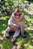 Barbary ape. Portrait of a Barbary ape on the summer meadow stock image