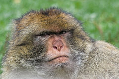 Barbary ape 2. Barbary ape looking angry with a green background Royalty Free Stock Photo
