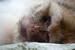 Barbary ape Stock Photography