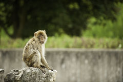 Barbary Ape. Sitting on a rock Royalty Free Stock Images