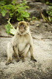 Barbary Ape. Sitting on a rock Stock Photo