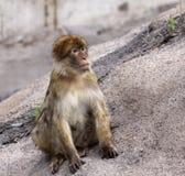 Barbary Ape. A Barbary Ape (Macaca sylvanus) sitting on a rock Stock Photos