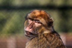 Barbary ape. Portrait of a Barbary ape Stock Photos