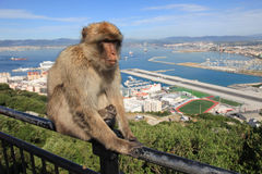 Barbary Ape. Poses with Gibraltar landscape Royalty Free Stock Images