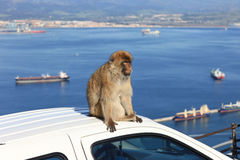 Barbary Ape. On Car with Port of Gibraltar landscape Royalty Free Stock Images