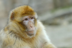 Barbary ape Stock Photo