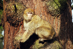 Free Barbary Ape Royalty Free Stock Images - 8265199