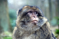 Barbary Ape. Closeup of a Barbary Ape Royalty Free Stock Photo