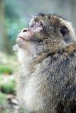 Barbary Ape. Closeup of a Barbary Ape Stock Photography