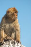 Barbary ape. Portrait of a barbary ape royalty free stock photography