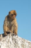 Barbary ape. Portrait of a barbary ape stock image