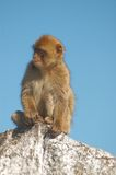 Barbary ape. Portrait of a barbary ape Royalty Free Stock Images