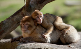 Barbary ape and baby Royalty Free Stock Photos