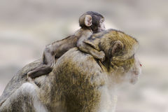 Barbary ape with baby Royalty Free Stock Image