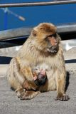 Barbary Ape with baby, Gibraltar. Royalty Free Stock Photo