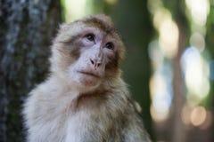 Barbary ape Stock Photography