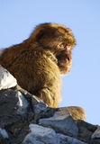Barbary Ape of Gibraltar Stock Photos