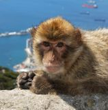 Barbary ape, Gibraltar. Royalty Free Stock Image